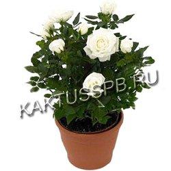 Белая роза в горшке (кордана)