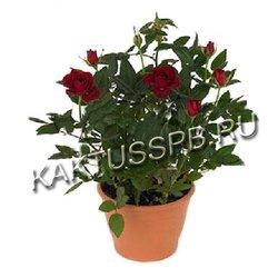 Роза в горшке бордовая (кордана)