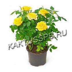 Роза в горшке желтая