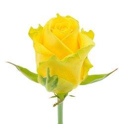 Желтая роза Penny Lane. Россия