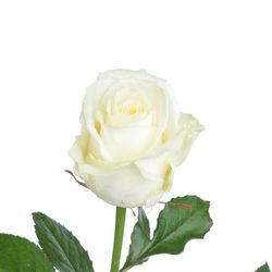 Белая роза Avalanche. Россия
