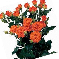Оранжевая кустовая роза  Babe.