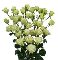 Кустовые белые розы.
