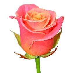 Розовая роза Miss Piggy. Эквадор