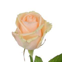 Кремовая роза Avalanche Peach. Россия