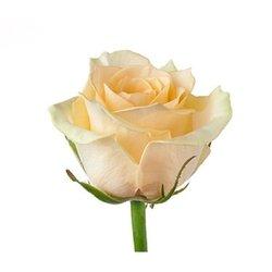 Кремовая роза Talea. Россия