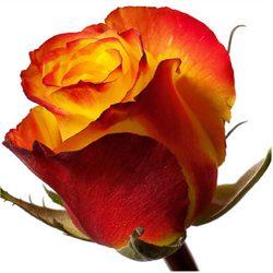 Желтая роза High Yellow. Эквадор