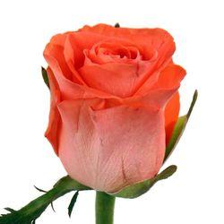 Оранжевая роза Wow. Россия