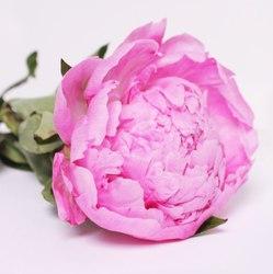 Купить пионы розовые поштучно
