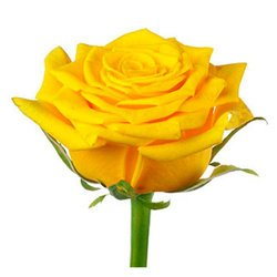 Желтая роза Bright Eye. Россия