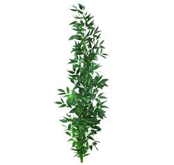 Декоративная зелень рускус итальянский