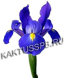 Ирисы синие