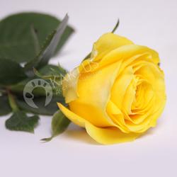 Желтые розы поштучно. 60-100 см, Эквадор